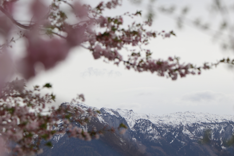Hanami: el arte de contemplar los cerezos